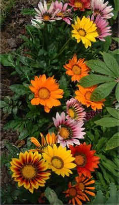 Gazania for the flower beds