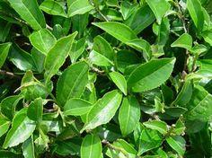 Chá-verde | Plantas Medicinais - Cultivando.com.br