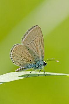 Small Blue, Cupido minimus.