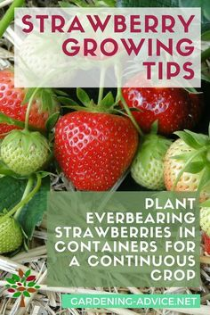 The Nitty-Gritty Of Growing Strawberries Beauty Perfectionist tiffianystapler Vegetable garden Strawberry Growing Tips Beauty … Strawberry Bush, Strawberry Garden, Strawberry Plants, Fruit Garden, Edible Garden, Kid Garden, Organic Vegetables, Growing Vegetables, Organic Gardening