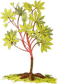 Cassava plant by @Firkin, From a drawing in 'Was Georg seinen deutschen Landsleuten über Brasilien zu erzählen weiss', Rudolstadt Leipzig, 1863., on @openclipart
