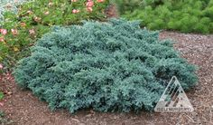 Juniperus squamata Blue Star:  Deer Resistant This immensely popular juniper deserves its reputation as a winning garden selection. It has sharp,blue, densely arranged needles, filling short branches that suggest the tips on a many-point star, and a useable form that is about as broad as tall.