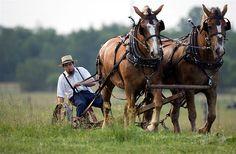 Draft horses working the ground.