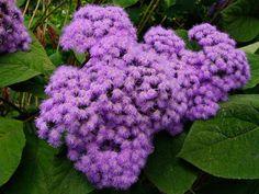 Eupatorium megalophyllum 'Purple Mist Flower'