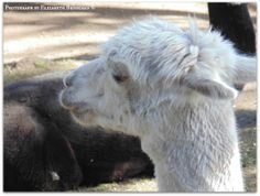 Alpaca (this photo was not taken in the wild, it is at the Beacon Hill Park zoo).