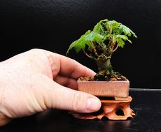 They might be more surprised to see the bigger challenges that come from growing a tiny version of the bonsai tree like shohin bonsai and mame bonsai. Bonsai Art, Bonsai Plants, Bonsai Garden, Bonsai Trees, Garden Trees, Bonsai Meaning, Minis, Bonsai Tree Types, Mame Bonsai