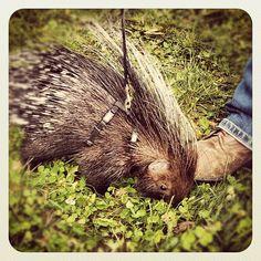 Porcupine, cute, mohawk, quills