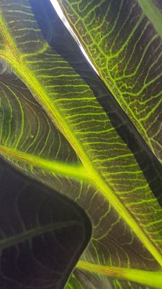 Close up of my Amazonia Alocasia's leaves