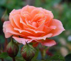 rose family - Pesquisa Google