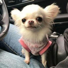 Cute Baby Animals, Funny Animals, Cute Puppies, Cute Dogs, Baby Chihuahua, Pomeranian Puppy, Husky Puppy, Cutest Dog Ever, Cutest Puppy