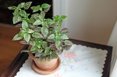 How to Care for a Polka Dot Plant The polka dot plants are pretty hardy indoor plants if you just provide some basic care; plant food, indirect sunlight, watch for aphids. Use your fingers to pinch 1/2 inch from the growing tips periodically throughout the season. This encourages the polka dot plant to produce lateral stems, which makes the plant bushier. Read more : http://www.ehow.com/how_5990326_care-polka-dot-plant.html