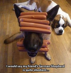 Wicked Training Your German Shepherd Dog Ideas. Mind Blowing Training Your German Shepherd Dog Ideas. German Shepherd Memes, German Shepherd Puppies, German Shepherds, Funny Dogs, Funny Animals, Cute Animals, Animal Funnies, Animal Memes, Baby Animals
