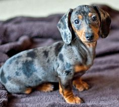 Apple the Dachshund-How can u resist that face? - Exclusive Tshirt For Pet Lovers - You can find more information at: https://www.facebook.com/pages/Tshirt-For-Pet-Lovers/702483263153915