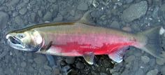 coho salmon - Yahoo Image Search Results