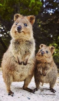 mother & baby quokka Gotta say - this is a new one for me! Cute.