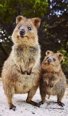 mother & baby quokka