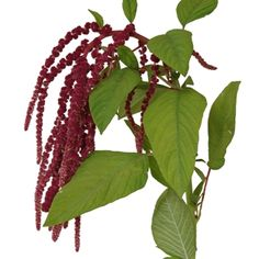 Buy wholesale cut Amaranthus Hanging Red for delivery to any UK address. Amaranthus Hanging Red is ideal for bridal work & wedding flowers. No minimum order required - Floral accessories also available. Burgundy Wedding Flowers, Fall Flowers, Red Flowers, Red Roses, Beautiful Flowers, Christmas Flowers, Anemone Flower, Flower Pots
