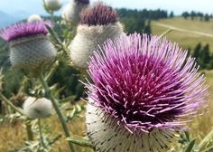 Milk Thistle For Gout – How An Unattractive Weed Can Help With Your Gout Milk Thistle Uses, Milk Thistle Benefits, Thistle Seed, Natural Remedies For Gout, Gout Remedies, Glass Dropper Bottles, Amber Glass Bottles, Herbal Tinctures, Herbalism
