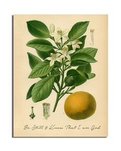Orange Botanical Illustration - with Be Still and Know Print