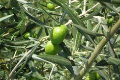Remedios caseros con aceite de oliva para la belleza y la salud. Los olivos producen un aceite sedoso frecuentemente usado en remedios populares. Los antiguos griegos ungían sus cuerpos con aceite de oliva, al que calificaban como