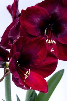 dunkelrote Amaryllisblüte Lush, Present For Groom, Pots, Amaryllis, Fleurs Diy, Growing Gardens, Rose Trees, Perfect Plants, Rose Bush