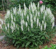 Small White Perennial Flowers   Aquilegia tower white vs salvia swan white - Perennials Forum ...