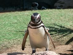 San Diego Zoo penguin