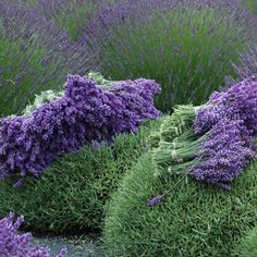 Lavandula x intermedia Grosso has the most amazing violet flowers with a strong scent mid spring to summer 'Grosso' is a newly selected commercial oil producing lavender used for producing fragrances for cosmetics. The intense colouring make a mass planting of 'Grosso' a must. Lavenders prefer a full sun to part shade position and are …
