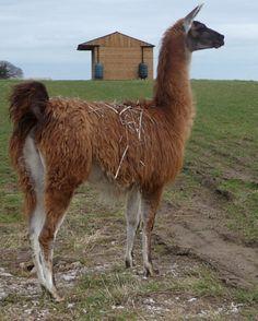 Donte by Hillview Llamas, Frodsham, UK Llama Alpaca, Alpacas, Sheep, Animals, Animaux, Animal, Animales, Animais