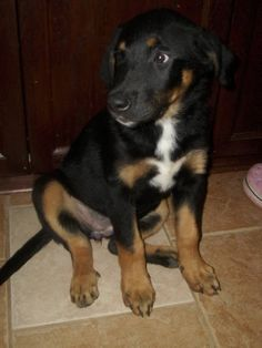 Bernese Mountain dog and Black Lab mix puppy  so cute i can see the Bernese  but  not the black lab but still so cute!!!!!!!!!!!!!!!!!!!!!!!!!!!! $ $                                                                      /                                                                    O