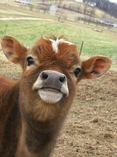 Baby Farm Animals, Baby Animals Pictures, Baby Cows, Cute Little Animals, Happy Animals, Cute Animal Pictures, Cute Funny Animals, Cute Dogs, Fluffy Cows
