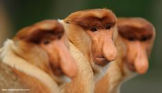 Proboscis Monkeys of Borneo  Photo: cedeprudente.com