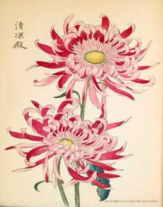 printed illustration of a chrysanthemum variety 'Seirioden' taken from the Japanese publication A Hundred Chrysanthemums by K Hasegawa. Creator Hasegawa, Keikwa (Author) Date 1891 Chrysanthemum Drawing, Japanese Chrysanthemum, Chrysanthemum Flower, Japanese Flowers, Illustration Blume, Botanical Illustration, Crisantemo Tattoo, Art Chinois, Art Japonais