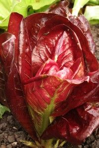 How to Grow Chicory, Belgian Endive, and Radicchio - my radicchio is still going strong here in northern Ohio in late February