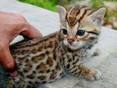 Bengal kittens always make me purrrrrrrr…
