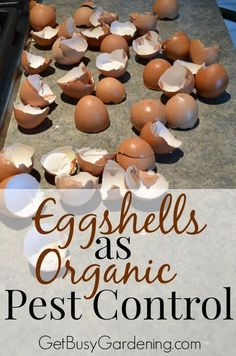 Start collecting eggshells to kill all those nasty garden pests this summer. Say what? That's right, crushed eggshells can be used as an organic pesticide. Crushed eggshells get under the hard shells of beetles, and acts like bits of glass to cut them up and kill them. You can't beat free organic pest control. #organicgardening