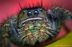 Cute and cuddly jumping spiders. Macro photography by Thomas Shahan -19