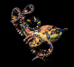 """Blue-Ringed Octopus off the coast of Australia; eats crabs, fish, and mollusks. Venomous: """"A bite from a blue-ringed octopus can completely paralyze and kill an adult human in a matter of minutes."""" Photo by Gary Bell"""