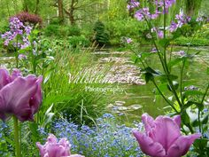 This is a color photographic print of the painter Claude Monet's garden at Giverny in France!