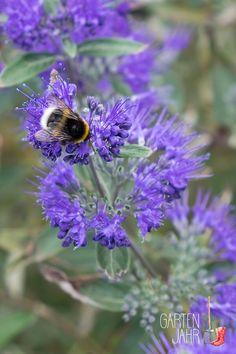 Die Bartblume von Januar bis Dezember  Wie verändert sich die Bartblume im Laufe eines Jahres? Dieses Video zeigt dir das ganze Pflanzenjahr.  Erfahre mehr auf www.gartenjahr.blog