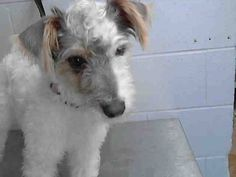 ADOPTED/RESCUED #A471902 Release date 9/4 I am a female, white and gray Schnauzer - Miniature and Jack (Parson) Russell Terrier mix. Shelter staff think I am about 6 months old. I have been at the shelter since Aug 28, 2014.  If I am not claimed, after my stray holding period, I may be available for adoption on Sep 04, 2014. ... City of San Bernardino Animal Control-Shelter. https://www.facebook.com/photo.php?fbid=10203387569747531&set=a.10203202186593068&type=3&theater