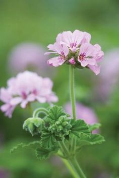 """Pelargonium """"Attar of Roses"""" (rose scented geranium)"""