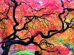 An Autumn Tree inside a Japanese Garden in Portland Oregon.