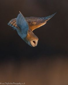 "pagewoman: ""Barn Owl by Toby Houlton """
