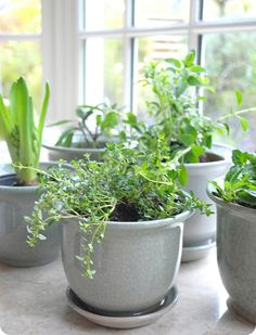 So I found some seeds for herbs like Oregano, Thyme, Peppermint & Spearmint, Lemongrass and Flowering Garlic, and started them in pots just inside the sliding glass door.  A bonus of having them all in my garden was the Lemongrass and Garlic plants kept mosquitoes away!