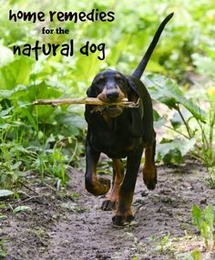 Lots of natural remedies for dogs in this post like how to treat ear and eye infections, promote healthy teeth, deter fleas, and even help with flatulence! #ad #dogs