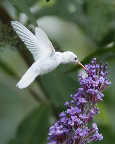 """Albino Hummingbird .. oh I would love to see one in person"" ~  I have to agree...I didn't even about them ~. I will be always be on the watch now....so beautiful <3"