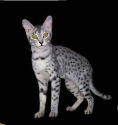 Serengeti Cat - amazing gold eyes