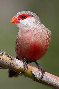 Common Waxbill is an estrildid finch native to sub-saharan Africa