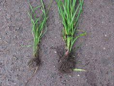 Italian raiheinä kasvoi huomattavasti rehevämpänä kuin timotei. Kasvien juurissa on myös suuri ero.